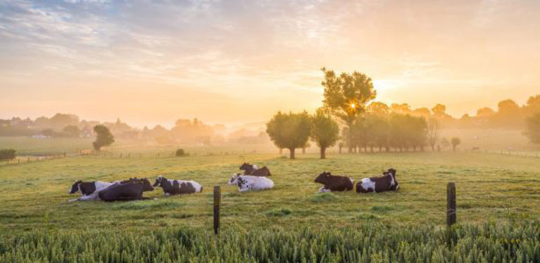 news_field_cows-2
